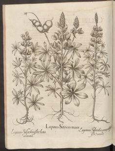 Lupinus Sylvestris flore luteo odoratus. Rar5967_0296