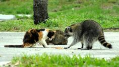 Racoon and cats share a meal