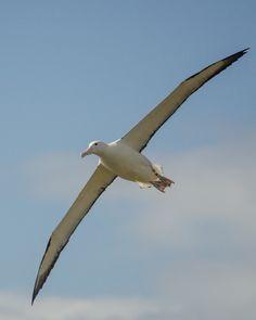 Royal Albatross in Dunedin, New Zealand.
