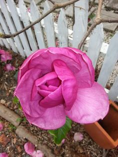 magnolia Cottages, Magnolia, Rose, Flowers, Plants, Cabins, Pink, Country Homes, Magnolias