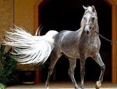 Those wonderful Arabians! Love Blue Roan and dapple Grey.
