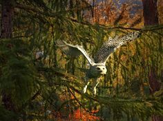 Не спится тетушке сове солнечным осенним днем... © Олег Богданов