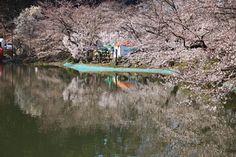 臥竜公園・桜開花状況 4/12(5分咲き)