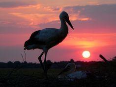 Belarus landscape, white stork
