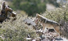Wolf protection plan raises hackles in Southwest.