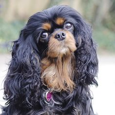 Cavalier King Charles Spaniel by Leanne Newman, we have had tri's and blenheim's, I would love a black and tan one day, better still one of each colour