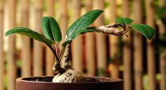 Euphorbia labatii x moratii