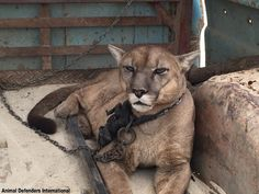 Mountain lion kept chained up in the back of a truck. Taken to a large forest enclosure by ADF. For the love of animals. Pass it on.
