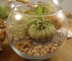 I want to mak this so bad - Tillandsia Air Plant DIY Terrarium by SucculentDESIGNS on Etsy