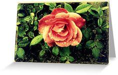 Grandpap's Rose by DianaMatisz