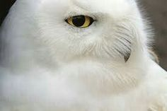 Beautiful snow white owl