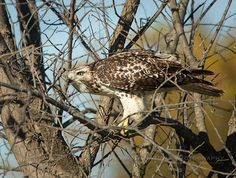 An Accepting Young Red-tail - juvenile Red-tailed Hawk (Buteo jamaicensis) | Show Me Nature Photography