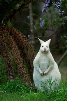 Albino Kangaroo. I'm gonna be honest this looks like a giant bunny, but like a dangerous bunny.