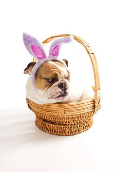 This is precisely what I wish was in my basket this morning! :) (Easter Basket Bulldog by Al Braunworth, on Flickr.) #bulldog #dog #puppy #cute #Easter #bunny #rabbit #costume #animals #pets