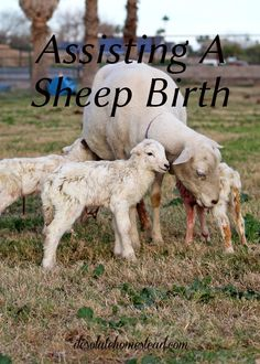 Assisting a sheep birth, my first experience. Sometimes having faith can be the hardest part of being a farmer. | desolatehomestead.com
