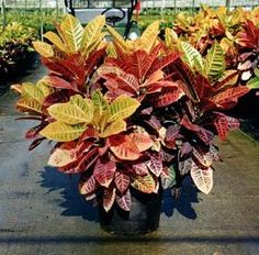 A beautiful Croton Elaine. How to care for at http://lawnpatiobarn.wordpress.com/2010/02/03/164/