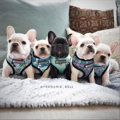 "3,618 Likes, 86 Comments - Bell's Beauties FrenchBulldogs (@frenchie_bell) on Instagram: ""New harness patterns available today @frenchie_bulldog  use FRENCHIEBELL For a 10% discount off…"""