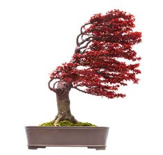 Bonsai is generally a tree or plant that has actually been kept smaller sized than its typical size. The technique to making a bonsai plant is to frequently prune the tree every spring Bonsai Tree Price, Buy Bonsai Tree, Japanese Bonsai Tree, Bonsai Trees For Sale, Bonsai Tree Types, Bonsai Tree Care, Tree Sale, Indoor Bonsai Tree, Bonsai Plants