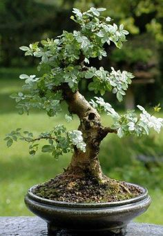fraxinus excelsior bonsai - Google Search #Bonsaimacetas #indoorbonsai