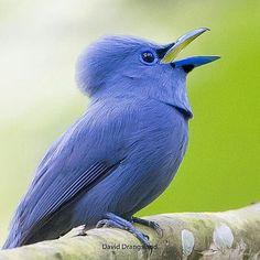 "#KINGS_BIRDS IT (@kings_birds_): ""Tag #kings_birds The Artist @bird_drangsland Name of bird Blue Paradise-Flycatcher . Our…"""