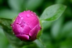 How to Grow Peonies in the South | Garden Guides