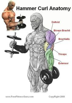 Hammer curl anatomy.  Fitness