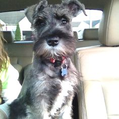 "Click visit site and Check out Cool ""Miniature Schnauzer"" T-shirts. This website is excellent. Tip: You can search ""your name"" or ""your favorite shirts"" at search bar on the top."
