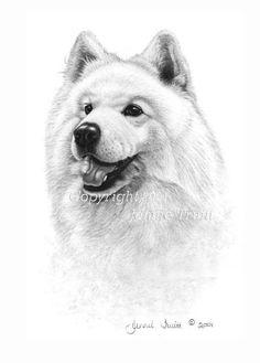 11 x 14 Samoyed Art Print from Original Pencil Drawing by Jennie Truitt