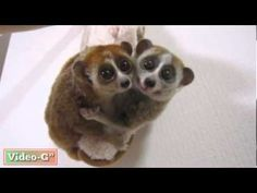 Slow loris in love. So cute! :)