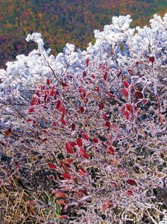 Fall leaves covered in rime ice along the Blue Ridge Parkway