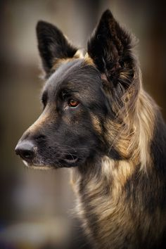 Long coat german shepherd.