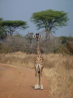 Giraffe @ #Ruaha National Park in #Tanzania. Check out the user reviews of Ruaha NP, photo by Cathy