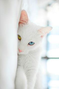White Cats With Ice Blue Eyes