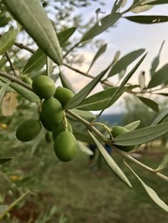 TERRA ROSSA Extra Virgin Olive Oil from 100% organic farming. Family owned, family farmed and deeply rooted in traditional practices by the Bellani Family, Istria, Croatia
