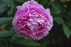 Peony Flowers: Information On Peony Care - Peony flowers are large, showy and sometimes fragrant, making them an essential in the sunny flower garden. Foliage lasts all summer and is an attractive background for other plantings. Get care info here.
