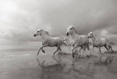 """""""Chasing Light"""" is from award-winning photographer Drew Doggett's limited edition equestrian print series Band of Rebels: White Horses of Camargue Popular Paint Colors, Chasing Lights, White Horses, Horse Art, Best Vacations, Animal Photography, Digital Photography, White Photography, Street Photography"""