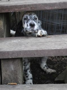 English Setter. N Brown. Sometimes the world just looks too big for a little guy like me.