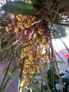 Orquidea nativa de Paraguay
