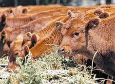 Pregon Agropecuario :: CON LA CRÍA, LA GANADERÍA MANTIENE FORTALEZA EN EL SUDOESTE BONAERENSE - Ganadería Bovina - Empresas y Explotaciones