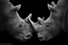 Fight Against Rhino Poaching By Wolf Ademeit