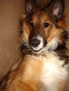 View this awesome dog breed photo named 'Shetland Sheepdog'. Shetland Sheepdog, Sheltie, Working Dogs, Dog Pictures, Pedicure, Best Dogs, Dog Breeds, Corgi, Nail