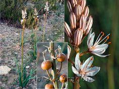 Flora de Aragón: Asphodelus cerasiferus