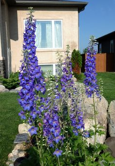 Delphinium flower in its second year measures 5 ft tall and six flower stalks. Growing in southern Manitoba.