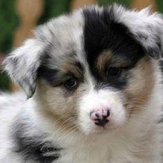 I love my Australian Shepherd!  --from google