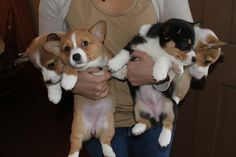 Armful of corgis!!