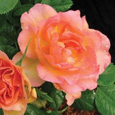 'Rose Morden Sunrise' has fabulous fragrance and unbeatable disease resistance. parkseed.com