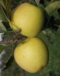 Golden almafa