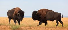 Caprock Canyon: The last wild herd of American bison are still roaming the plains of Texas. They can be found in Caprock Canyon State Park near the Texas panhandle. Texas Vacations, Texas Roadtrip, Texas Travel, Camping Texas, Usa Travel, State Parks, Texas Parks, Texas Pride, Animales