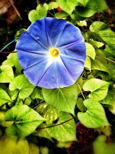 The beauty of a morning glory flower! #markpizzart pic.twitter.com/NbUqcB3nVI