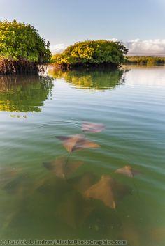 Golden rays swim in protected water of a mangrove forest, Santa Cruz Island, Galapagos Islands, Ecuador | Patrick J Endres